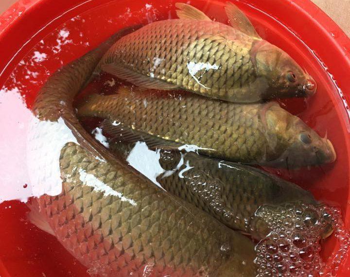 Cá chép là thực phẩm lành tính và rất giàu dinh dưỡng