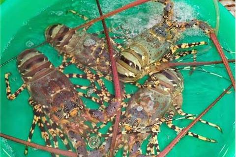 Hãy đến những cửa hàng hải sản uy tín để mua tôm hùm chất lượng