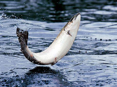 Cá hồi sống chủ yếu ở nước mặn nhưng lại sinh sản ở vùng nước ngọt