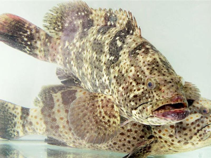 cá song là gì